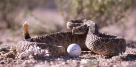 Rattlesnake and golf ball