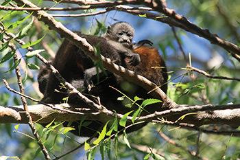 costa rica howler monkey