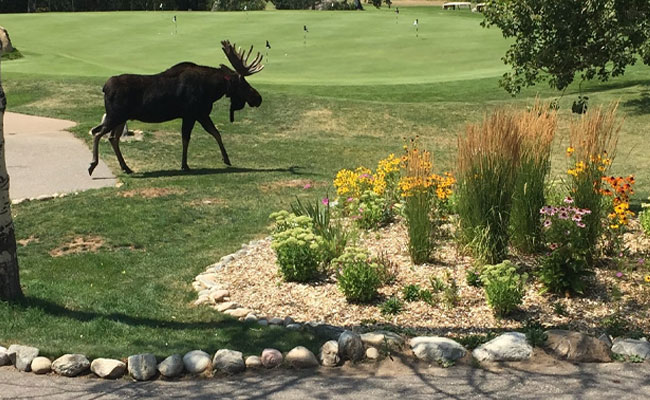 A moose next to the practice green at Rollingstone Ranch Golf Club.