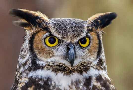 A desert owl looks on