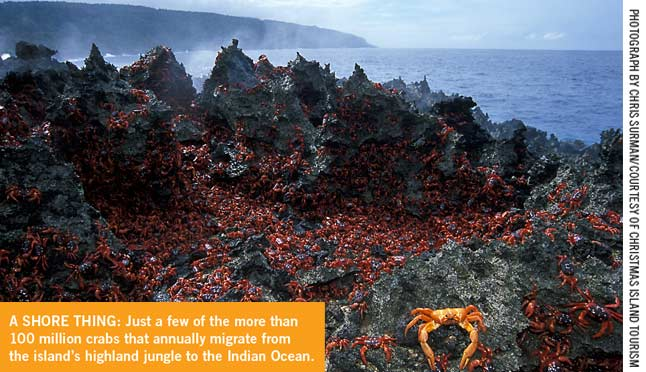 Red Crabs on the shoreline of Christmas Island