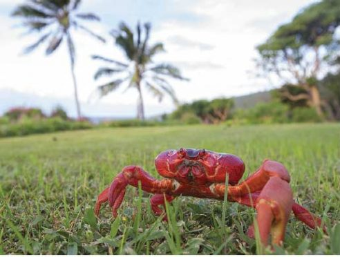 Red Crab during the migration on Christmas Island